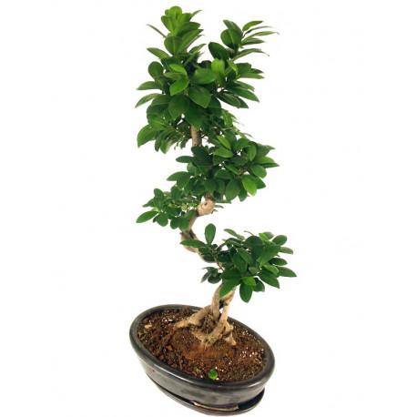 Ficus Ginseng Bonsaï Specimen