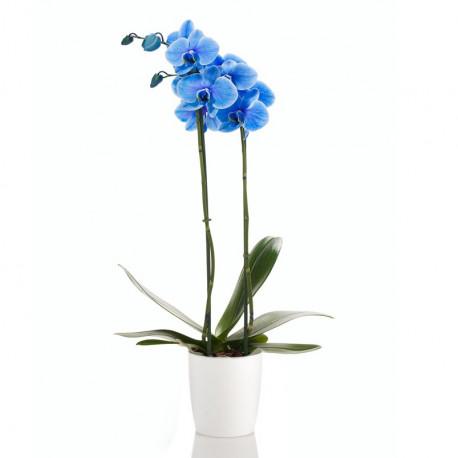 Orchidée Phalaenopsis Bleue