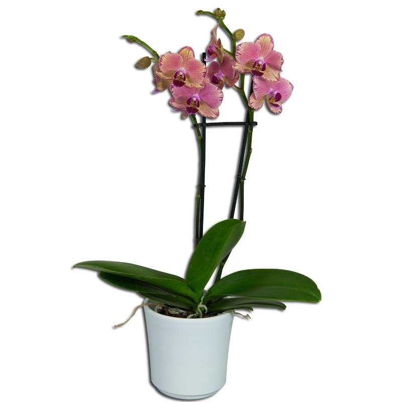 Orchid e phalaenopsis rose en promotion fleuriste en ligne - Entretien de l orchidee ...