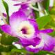 Orchidée parfumée