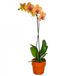 Orchidée Phalaenopsis Jaune Orange