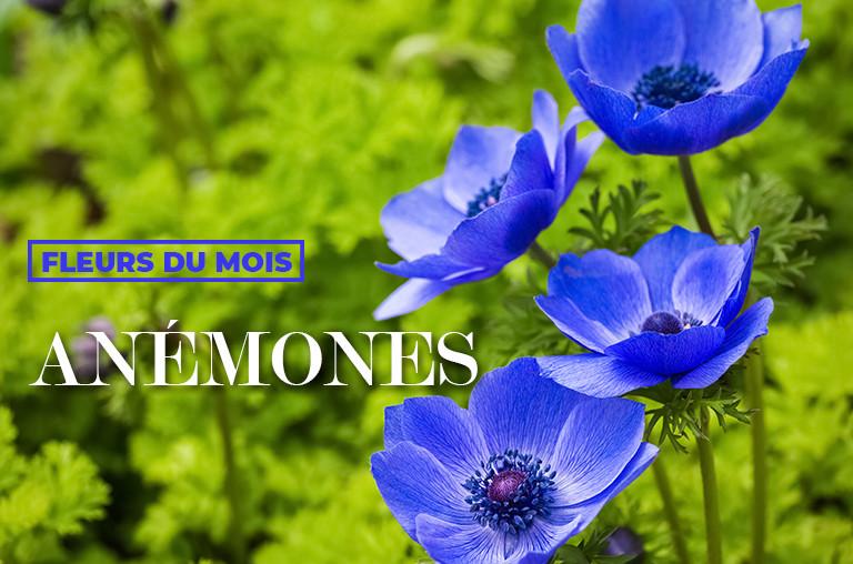 Anémones - Fleurs du mois